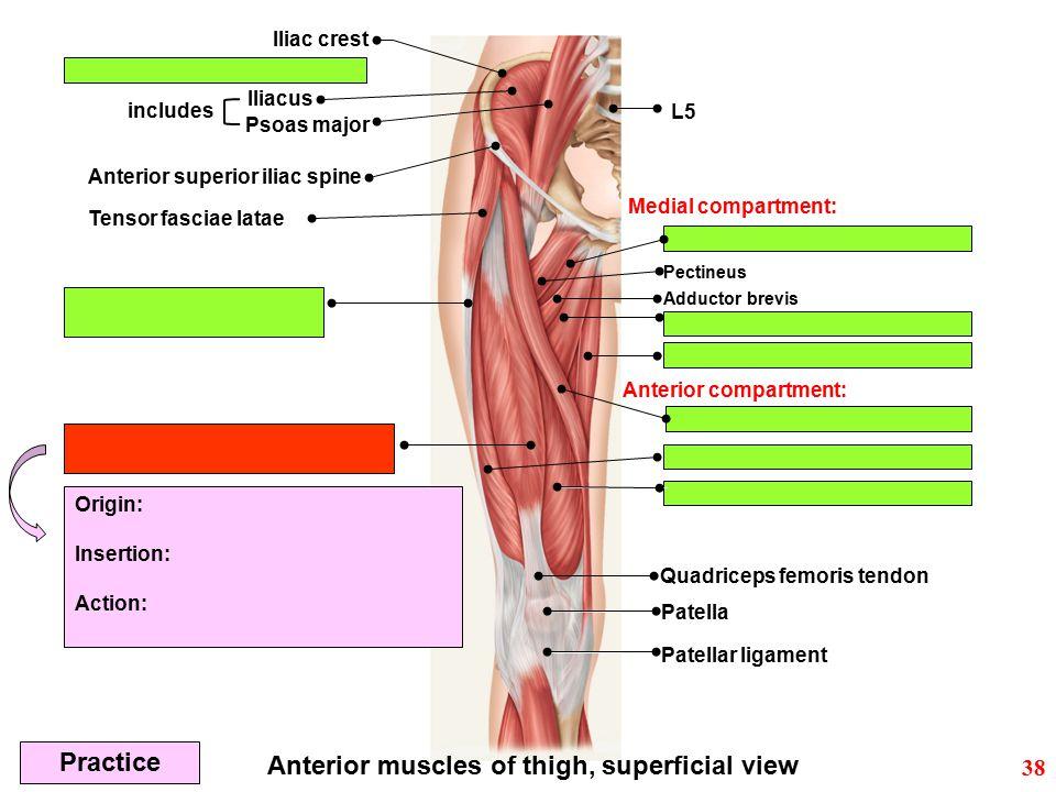 Iliac crest Iliacus Anterior superior iliac spine Anterior muscles of thigh, superficial view Quadriceps femoris tendon Patella Patellar ligament Pect