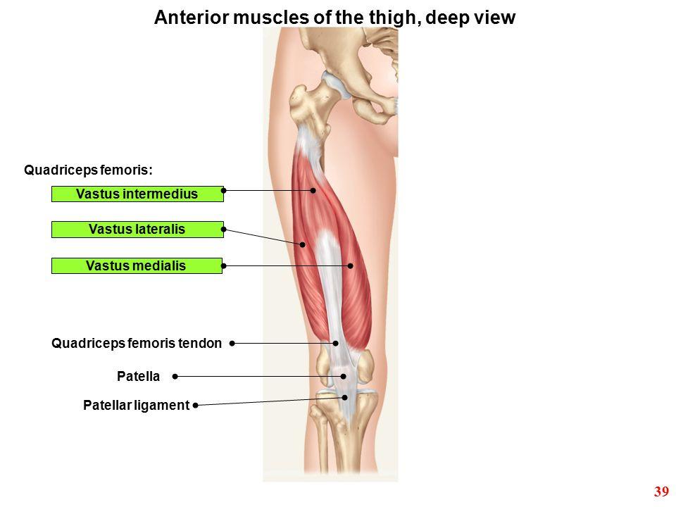 Quadriceps femoris: Vastus lateralis Vastus medialis Quadriceps femoris tendon Patella Patellar ligament Vastus intermedius Anterior muscles of the th