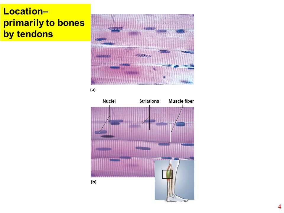 StriationsMuscle fiber (b) (a) Nuclei Location– primarily to bones by tendons 4