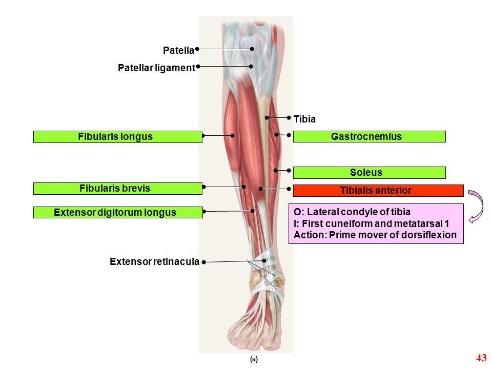 (a) Patellar ligament Fibularis longus Fibularis brevis Extensor digitorum longus Tibialis anterior Patella Tibia Gastrocnemius Soleus Extensor retina