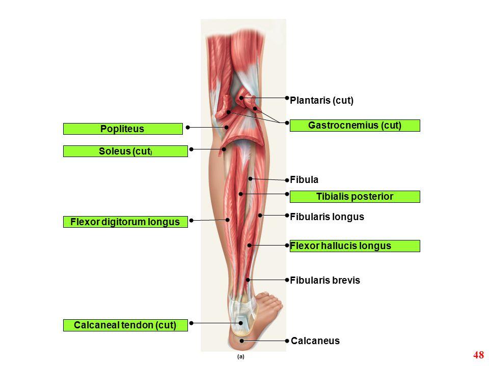 Calcaneal tendon (cut) Calcaneus (a) Flexor digitorum longus Flexor hallucis longus Popliteus Plantaris (cut) Soleus (cut ) Fibula Fibularis longus Fi