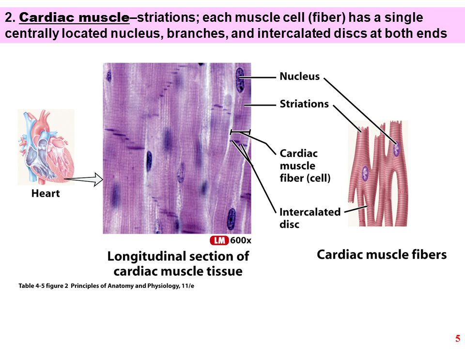 2. Cardiac muscle –striations; each muscle cell (fiber) has a single centrally located nucleus, branches, and intercalated discs at both ends 5