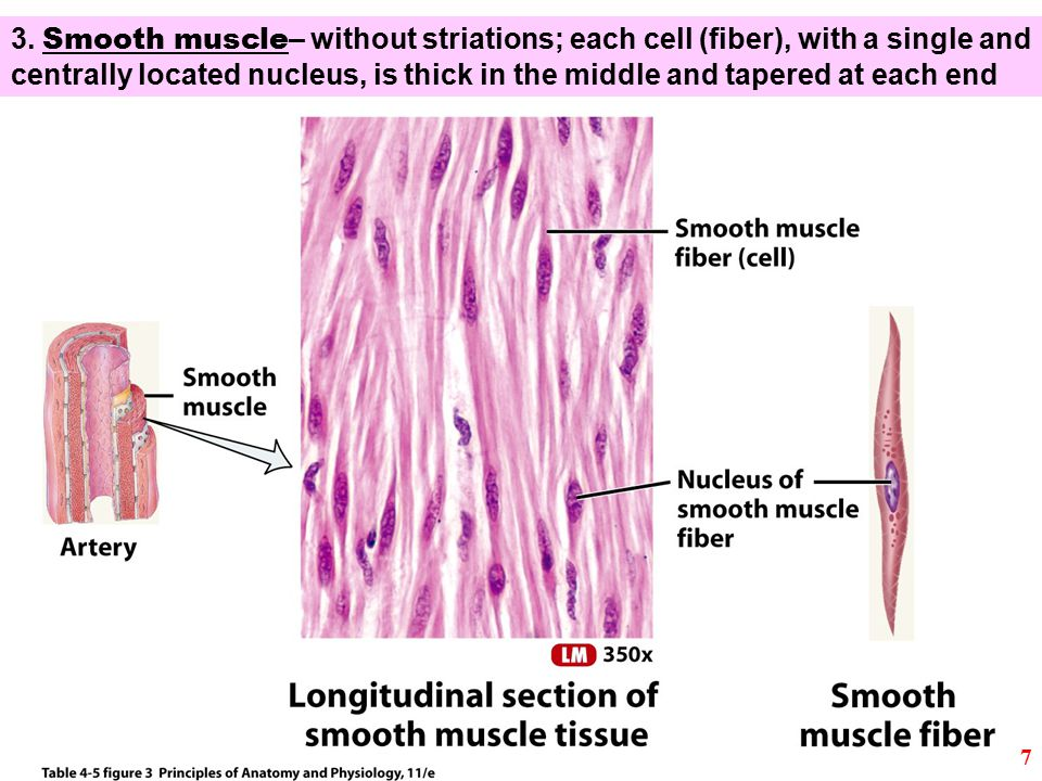 3. Smooth muscle – without striations; each cell (fiber), with a single and centrally located nucleus, is thick in the middle and tapered at each end