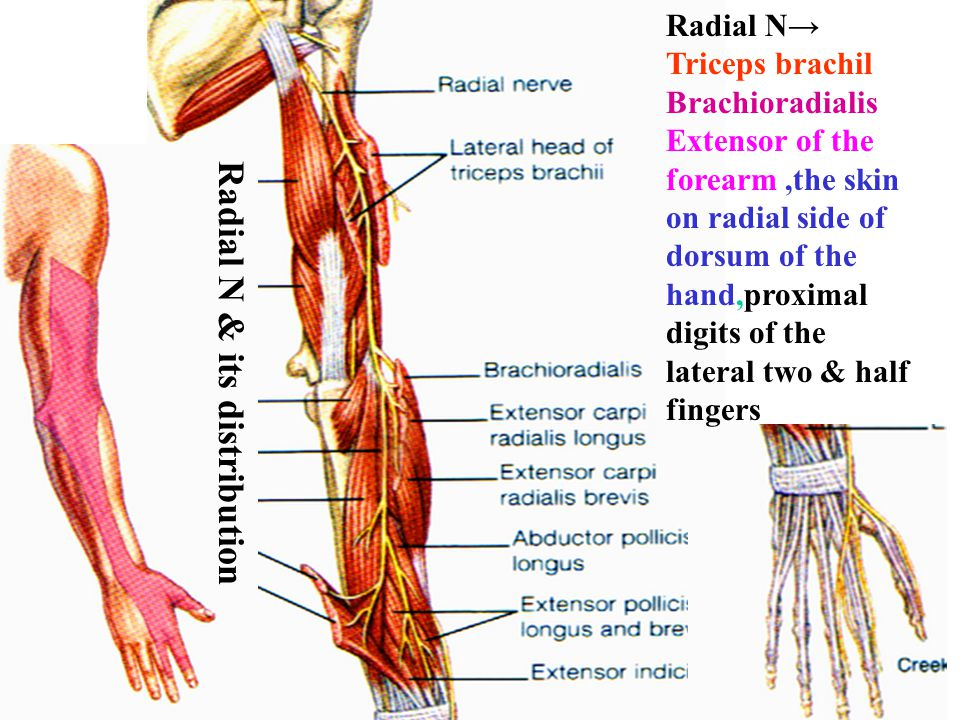 Radial N→ Triceps brachil Brachioradialis Extensor of the forearm,the skin on radial side of dorsum of the hand,proximal digits of the lateral two & h