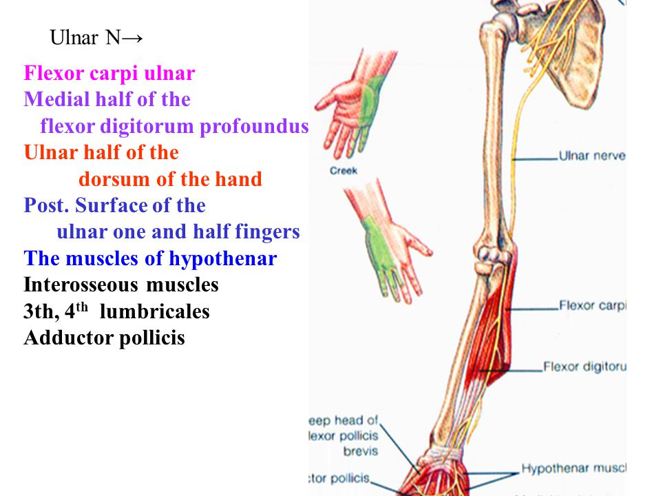 Ulnar N→ Flexor carpi ulnar Medial half of the flexor digitorum profoundus Ulnar half of the dorsum of the hand Post. Surface of the ulnar one and hal