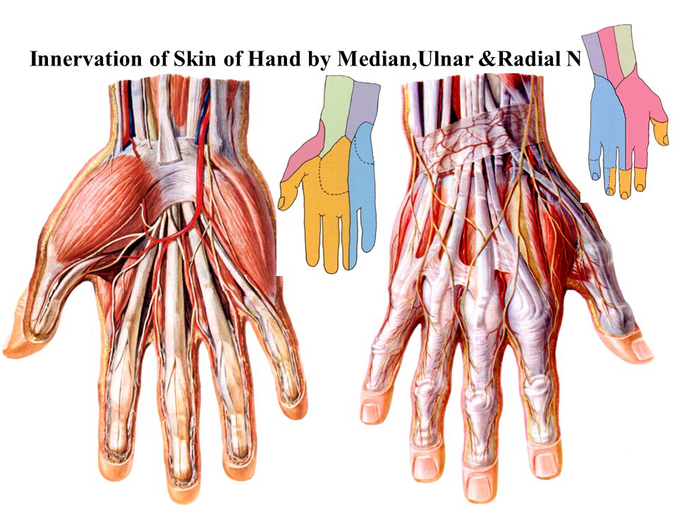 Innervation of Skin of Hand by Median,Ulnar &Radial Ns