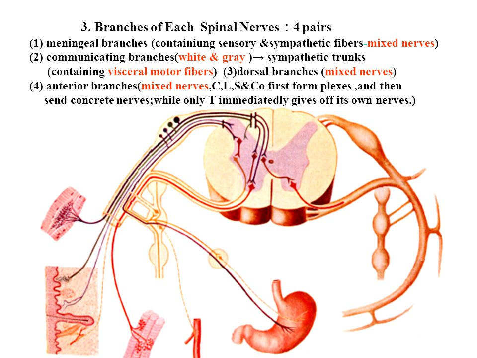 3. Branches of Each Spinal Nerves : 4 pairs (1) meningeal branches (containiung sensory &sympathetic fibers-mixed nerves) (2) communicating branches(w