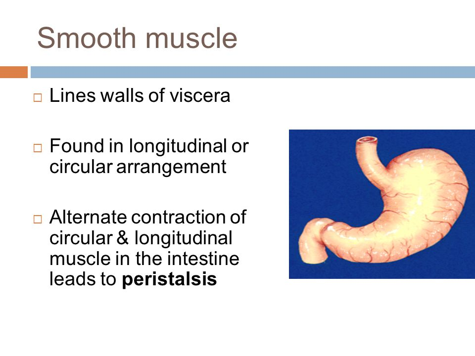Smooth muscle  Lines walls of viscera  Found in longitudinal or circular arrangement  Alternate contraction of circular & longitudinal muscle in th