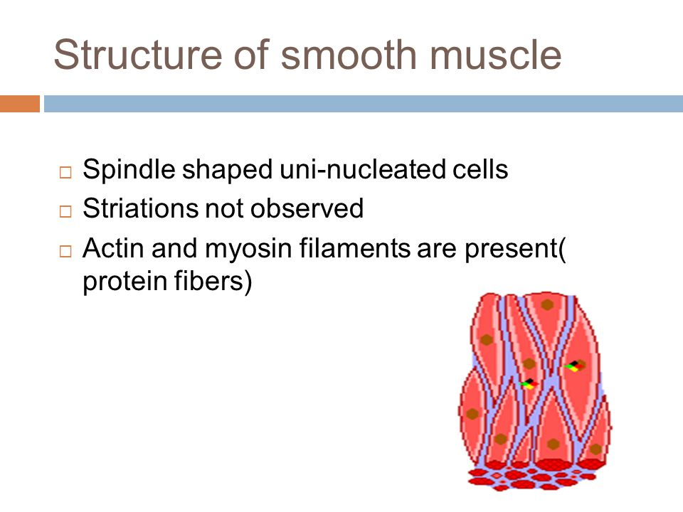 Structure of smooth muscle  Spindle shaped uni-nucleated cells  Striations not observed  Actin and myosin filaments are present( protein fibers)