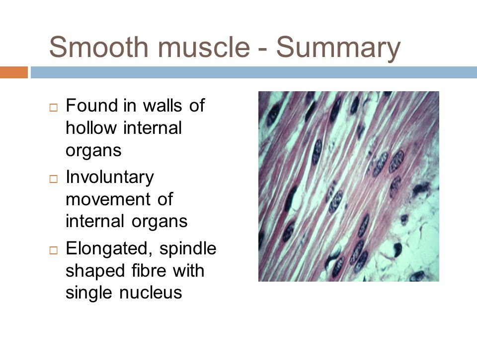 Smooth muscle - Summary  Found in walls of hollow internal organs  Involuntary movement of internal organs  Elongated, spindle shaped fibre with si