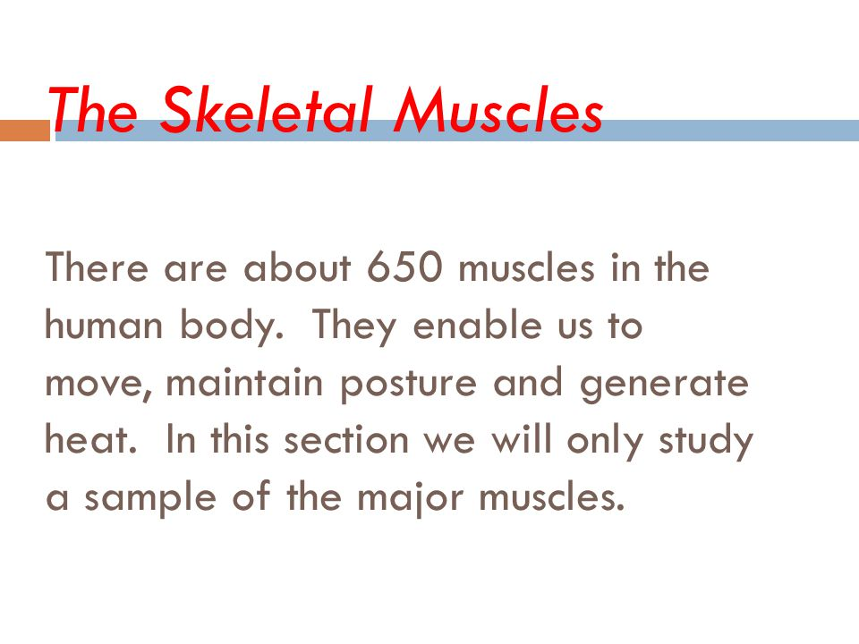 The Skeletal Muscles There are about 650 muscles in the human body. They enable us to move, maintain posture and generate heat. In this section we wil