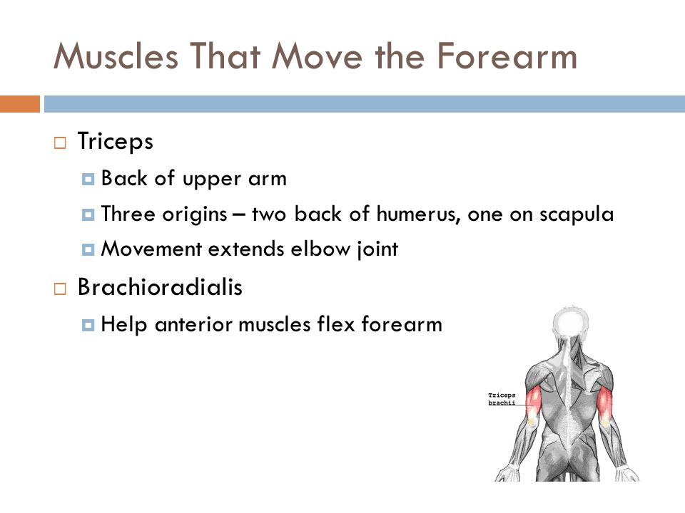Muscles That Move the Forearm  Triceps  Back of upper arm  Three origins – two back of humerus, one on scapula  Movement extends elbow joint  Bra
