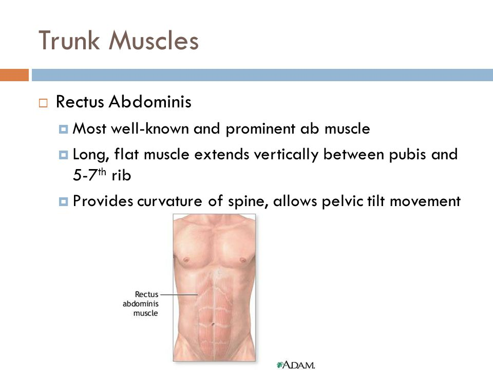 Trunk Muscles  Rectus Abdominis  Most well-known and prominent ab muscle  Long, flat muscle extends vertically between pubis and 5-7 th rib  Provi