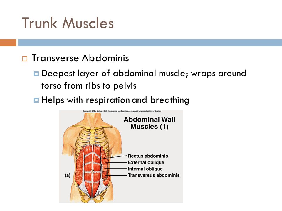 Trunk Muscles  Transverse Abdominis  Deepest layer of abdominal muscle; wraps around torso from ribs to pelvis  Helps with respiration and breathin