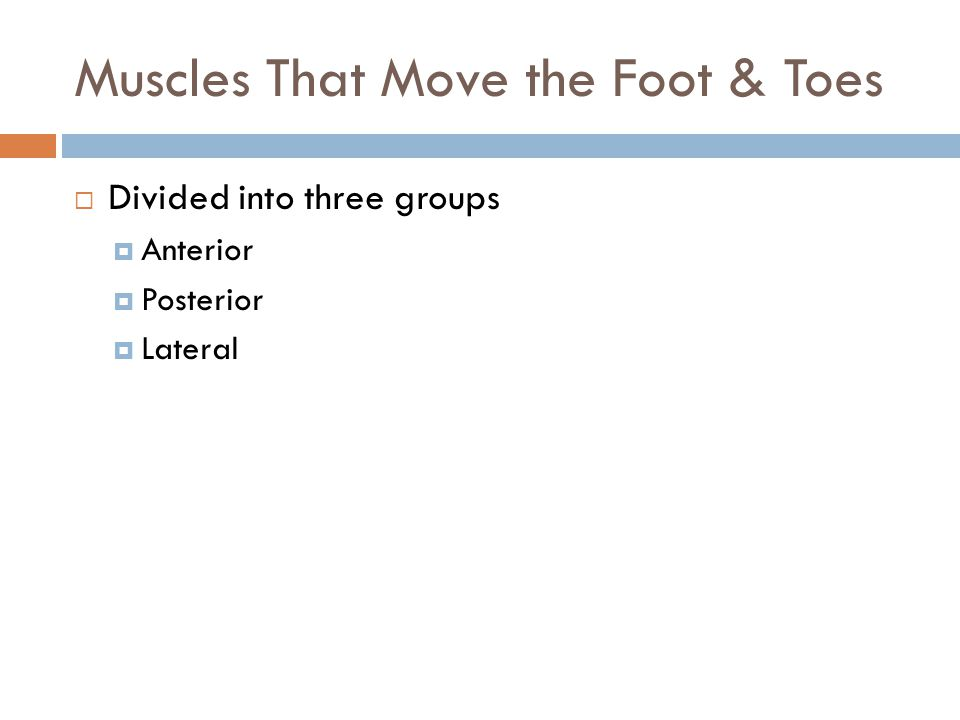 Muscles That Move the Foot & Toes  Divided into three groups  Anterior  Posterior  Lateral