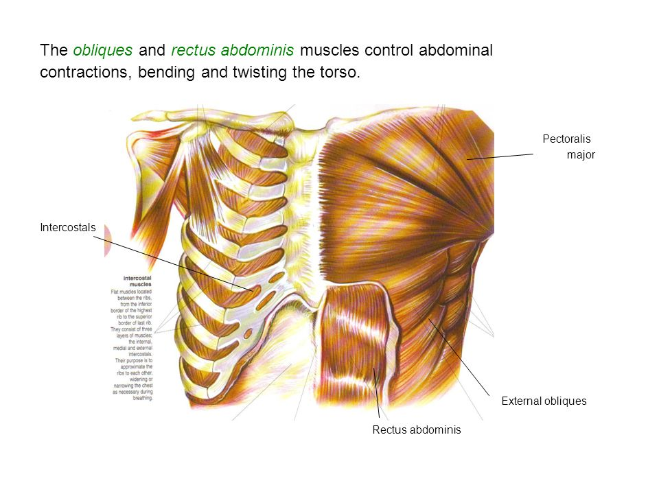 The obliques and rectus abdominis muscles control abdominal contractions, bending and twisting the torso. Pectoralis major Intercostals External obliq
