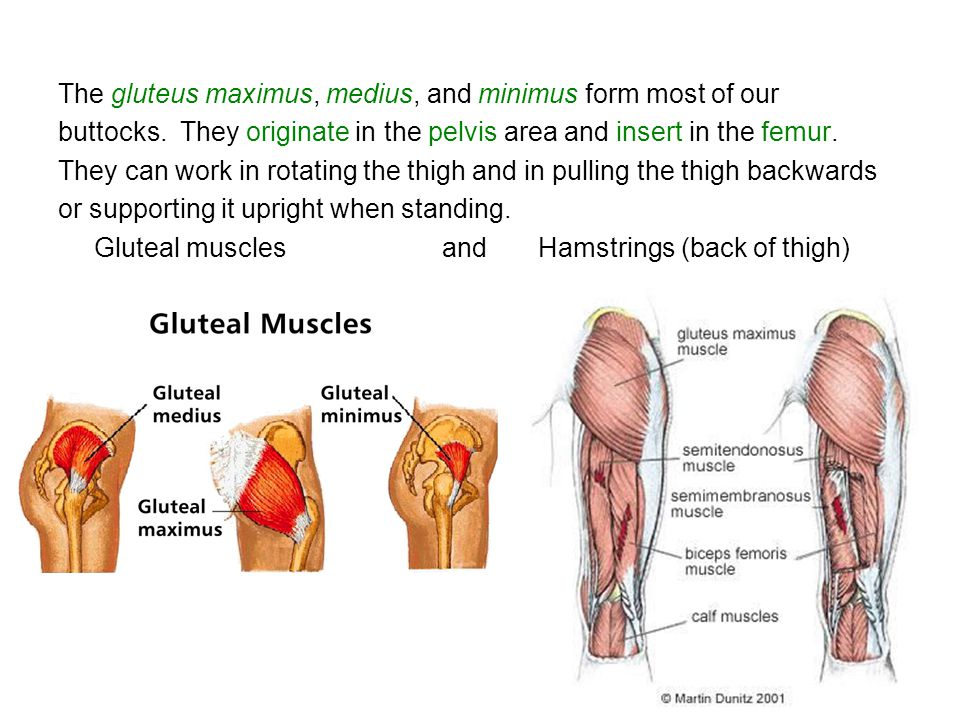 The gluteus maximus, medius, and minimus form most of our buttocks. They originate in the pelvis area and insert in the femur. They can work in rotati