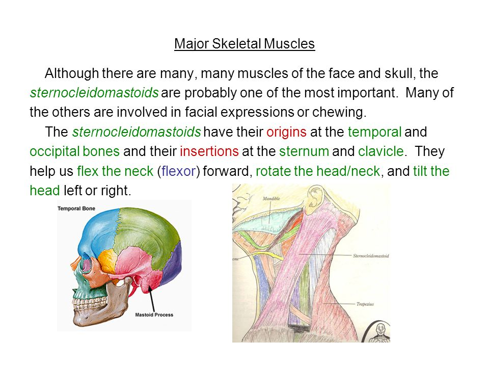 Major Skeletal Muscles Although there are many, many muscles of the face and skull, the sternocleidomastoids are probably one of the most important. M
