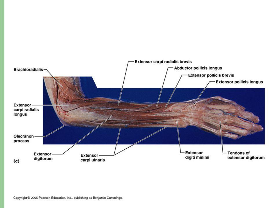Hip & knee muscles Quadriceps femoris – O: anterior inferior iliac spine, superior margin of acetabulum, greater trochanter, shaft of femur – I: patella and tibial tuberosity via patellar tendon – Action: extend knee, flex thigh