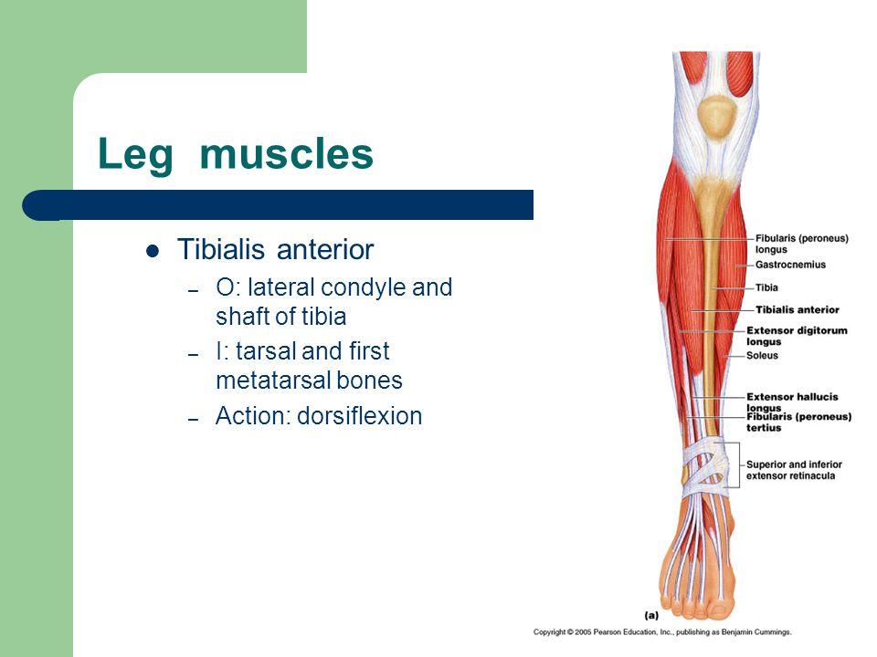 Leg muscles Gastrocnemius – O: medial & lateral condyles of femur – I: calcaneus via Achilles tendon – Action: plantar flexion, flex knee