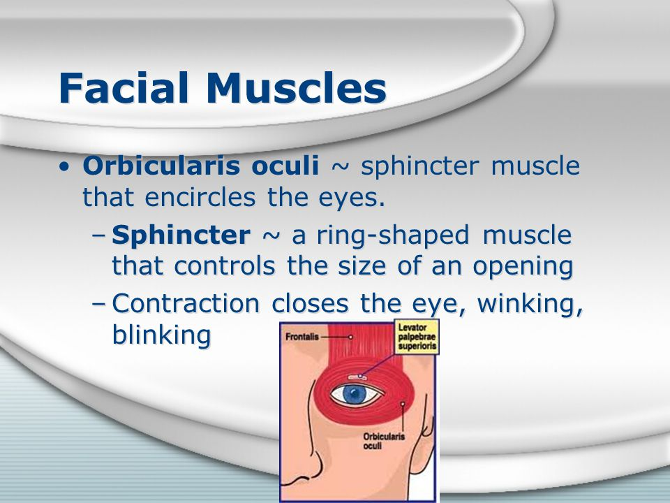 Facial Muscles Orbicularis oculi ~ sphincter muscle that encircles the eyes. –Sphincter ~ a ring-shaped muscle that controls the size of an opening –C