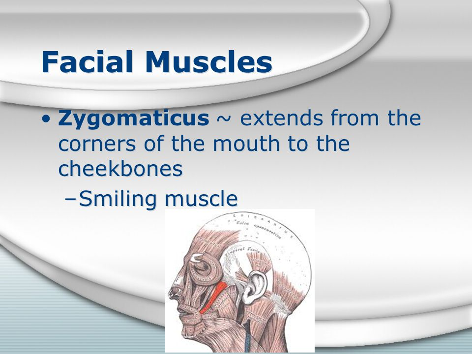 Facial Muscles Zygomaticus ~ extends from the corners of the mouth to the cheekbones –Smiling muscle Zygomaticus ~ extends from the corners of the mou