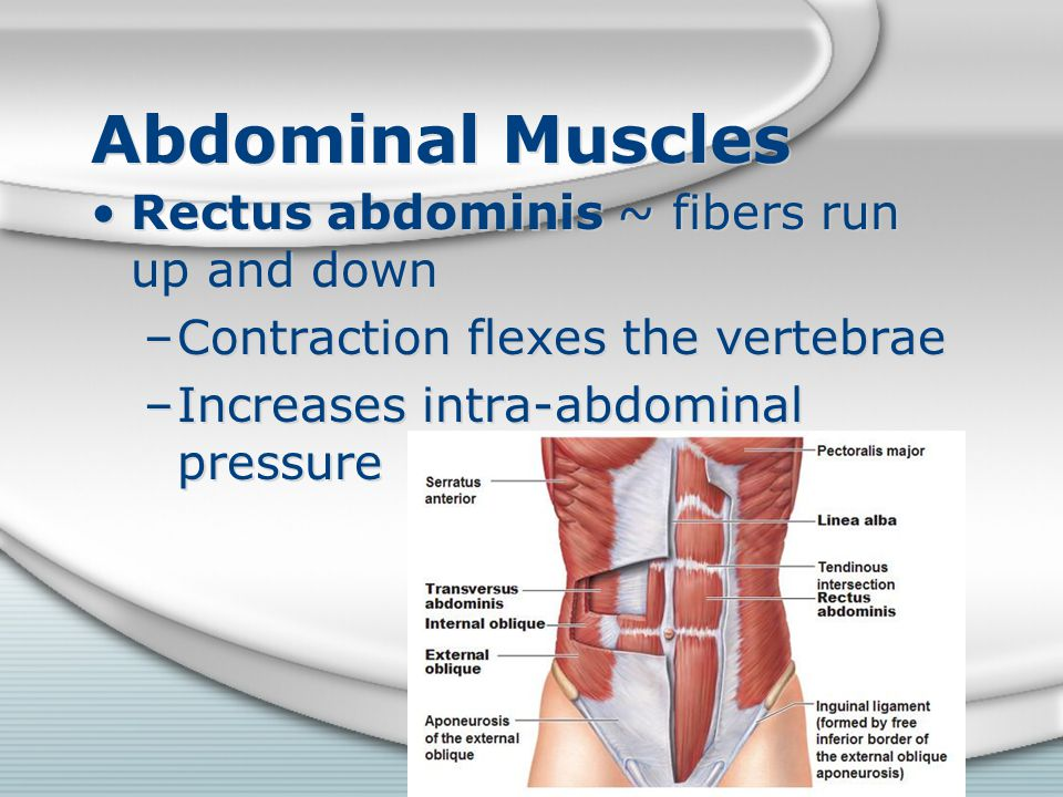 Abdominal Muscles Rectus abdominis ~ fibers run up and down –Contraction flexes the vertebrae –Increases intra-abdominal pressure Rectus abdominis ~ f