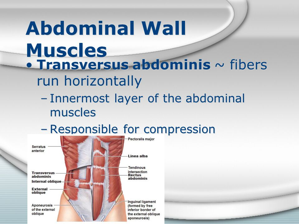 Abdominal Wall Muscles Transversus abdominis ~ fibers run horizontally –Innermost layer of the abdominal muscles –Responsible for compression Transver