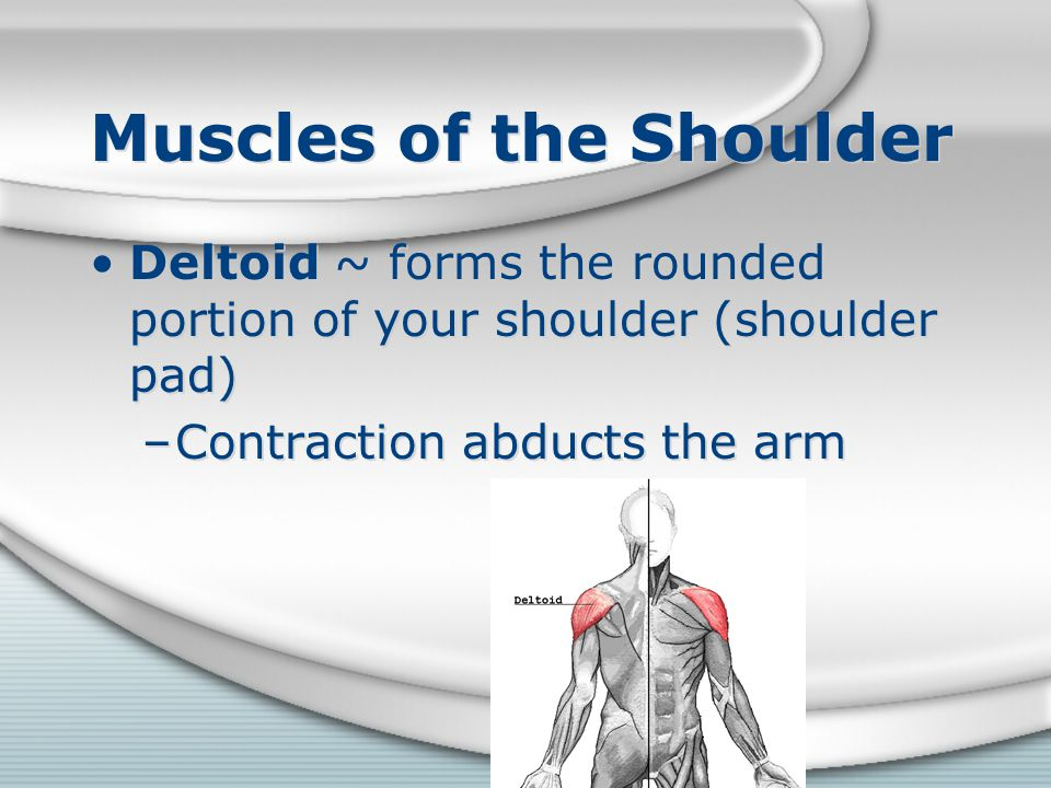 Muscles of the Shoulder Deltoid ~ forms the rounded portion of your shoulder (shoulder pad) –Contraction abducts the arm Deltoid ~ forms the rounded p