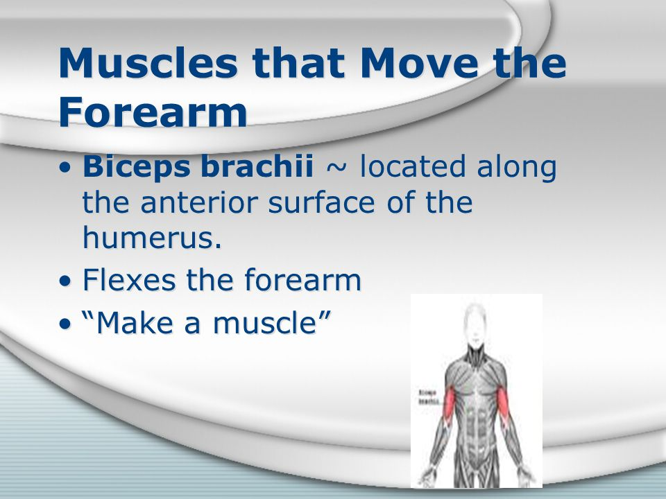 "Muscles that Move the Forearm Biceps brachii ~ located along the anterior surface of the humerus. Flexes the forearm ""Make a muscle"" Biceps brachii ~"