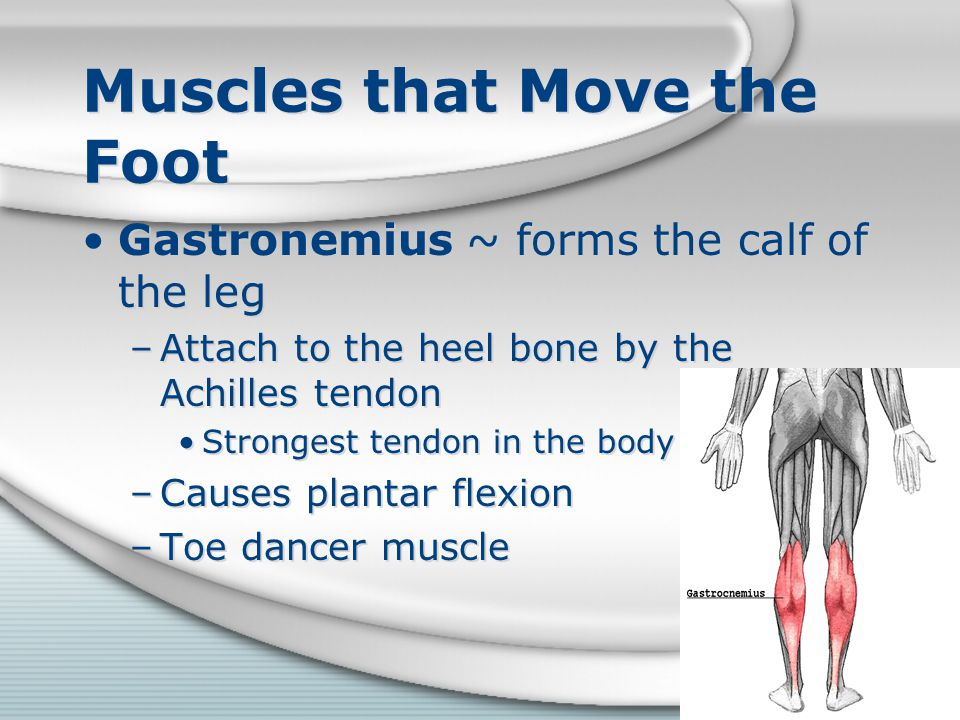 Muscles that Move the Foot Gastronemius ~ forms the calf of the leg –Attach to the heel bone by the Achilles tendon Strongest tendon in the body –Caus