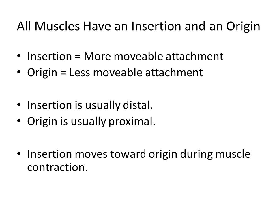 All Muscles Have an Insertion and an Origin Insertion = More moveable attachment Origin = Less moveable attachment Insertion is usually distal. Origin