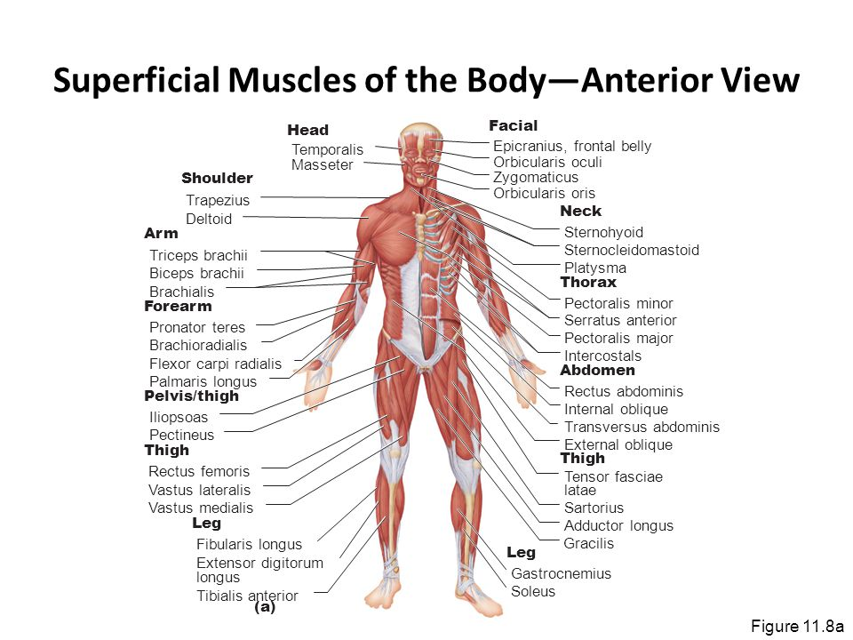 Superficial Muscles of the Body—Anterior View Figure 11.8a