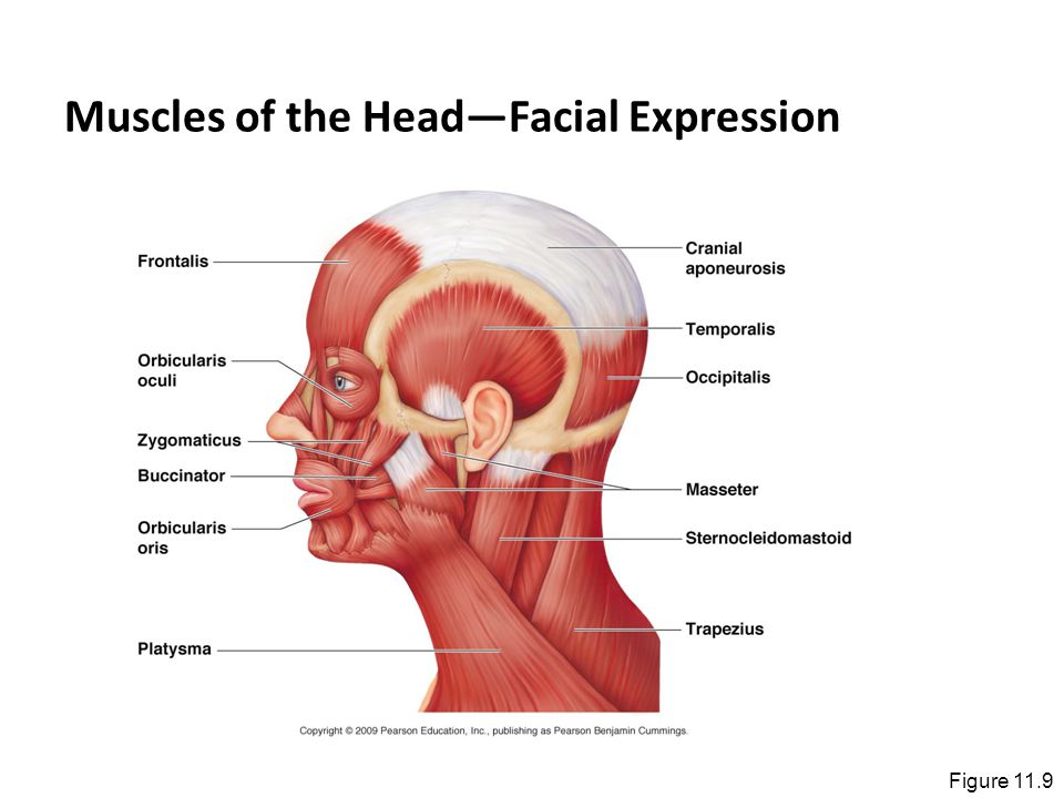 Muscles of the Head—Facial Expression Figure 11.9