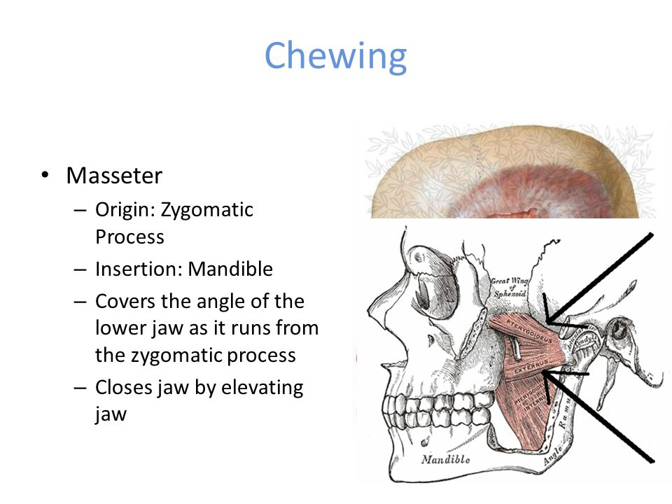 Chewing Masseter – Origin: Zygomatic Process – Insertion: Mandible – Covers the angle of the lower jaw as it runs from the zygomatic process – Closes jaw by elevating jaw
