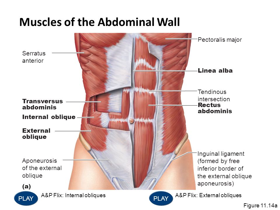 Serratus anterior Pectoralis major Linea alba Tendinous intersection Rectus abdominis Inguinal ligament (formed by free inferior border of the externa