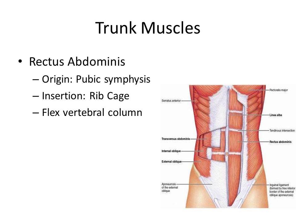 Trunk Muscles Rectus Abdominis – Origin: Pubic symphysis – Insertion: Rib Cage – Flex vertebral column