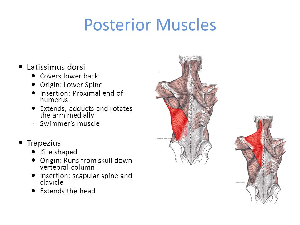 Posterior Muscles Latissimus dorsi Covers lower back Origin: Lower Spine Insertion: Proximal end of humerus Extends, adducts and rotates the arm medially ◦ Swimmer's muscle Trapezius Kite shaped Origin: Runs from skull down vertebral column Insertion: scapular spine and clavicle Extends the head