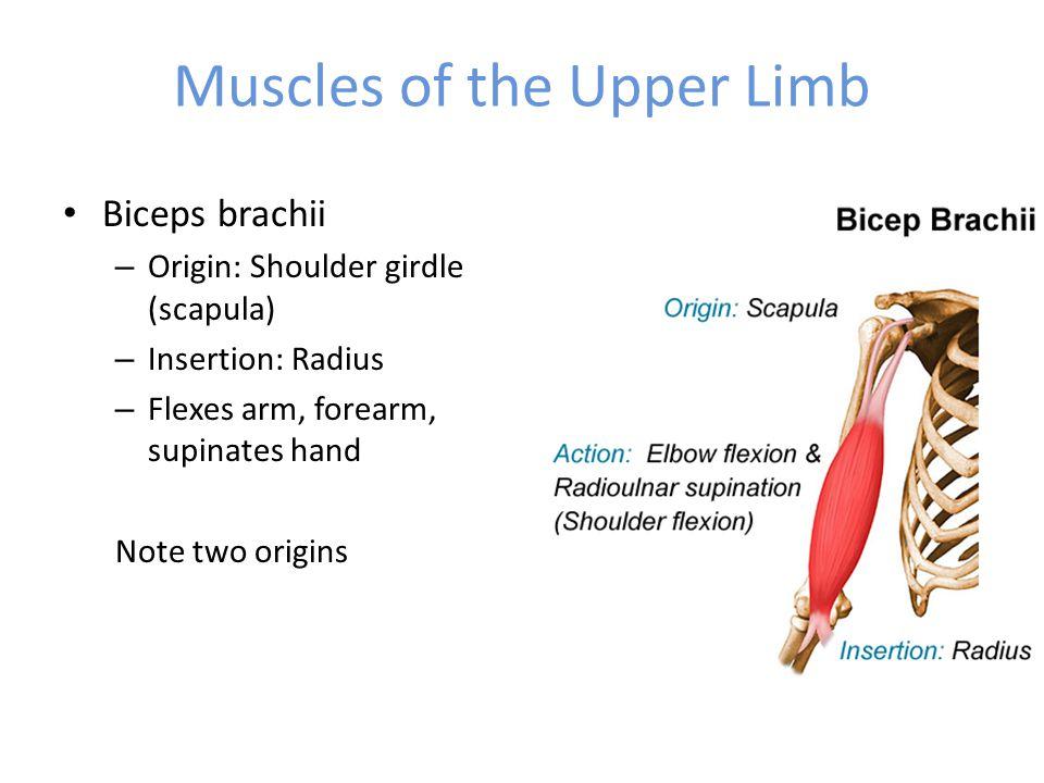 Biceps brachii – Origin: Shoulder girdle (scapula) – Insertion: Radius – Flexes arm, forearm, supinates hand Note two origins