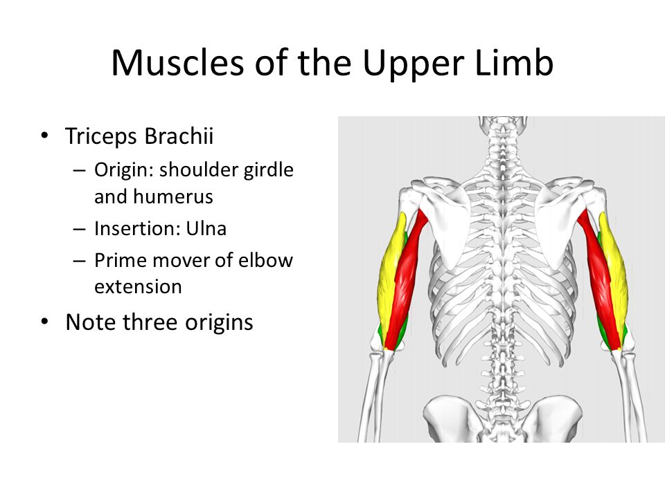 Muscles of the Upper Limb Triceps Brachii – Origin: shoulder girdle and humerus – Insertion: Ulna – Prime mover of elbow extension Note three origins