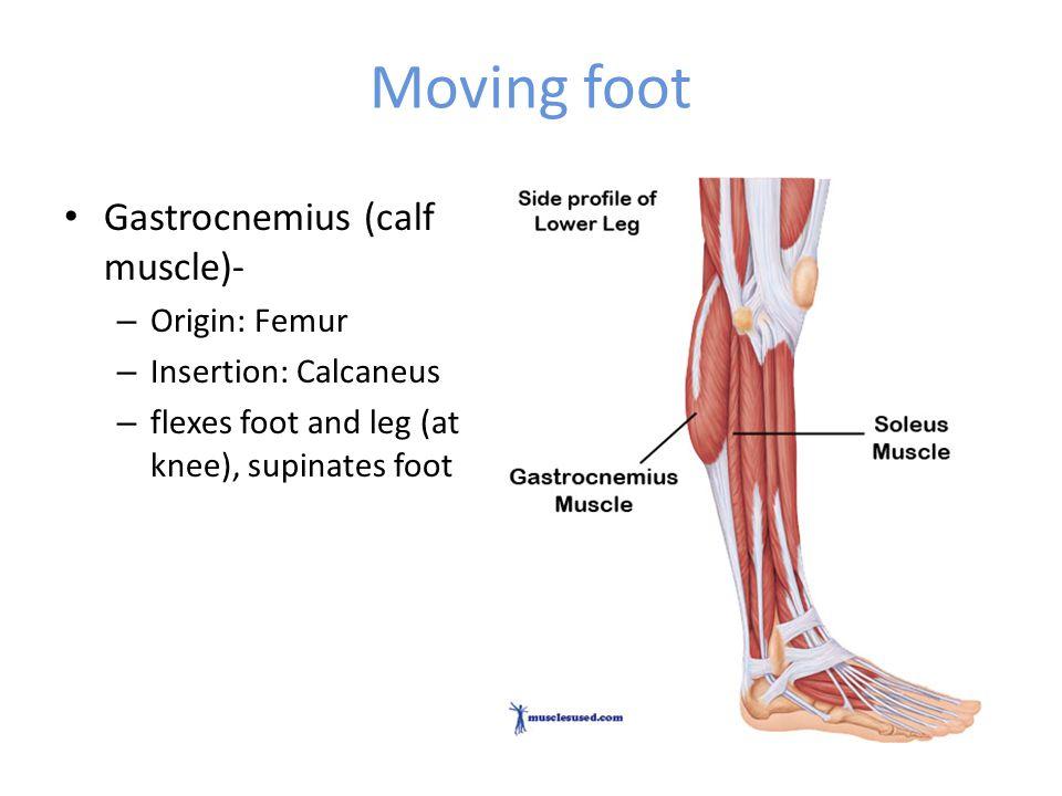Moving foot Gastrocnemius (calf muscle)- – Origin: Femur – Insertion: Calcaneus – flexes foot and leg (at knee), supinates foot