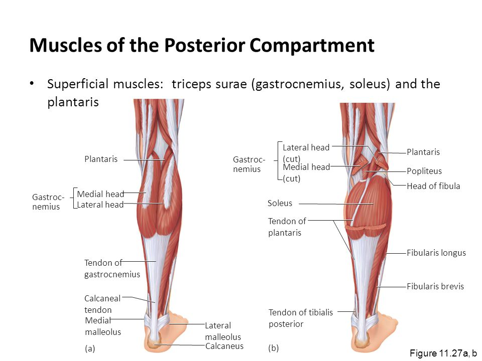 Muscles of the Posterior Compartment Superficial muscles: triceps surae (gastrocnemius, soleus) and the plantaris Figure 11.27a, b Plantaris Tendon of
