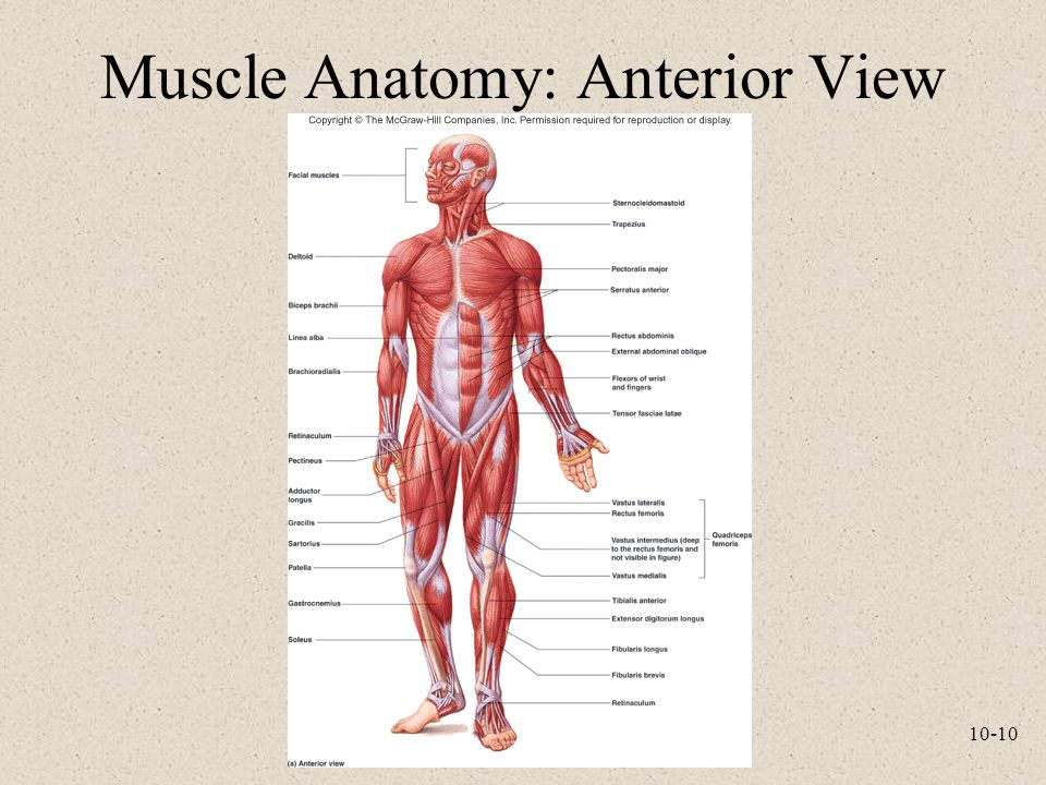 10-10 Muscle Anatomy: Anterior View