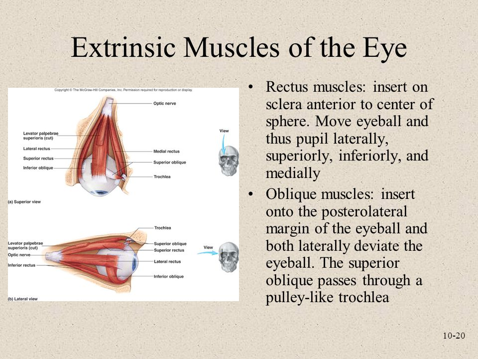 10-20 Extrinsic Muscles of the Eye Rectus muscles: insert on sclera anterior to center of sphere. Move eyeball and thus pupil laterally, superiorly, i