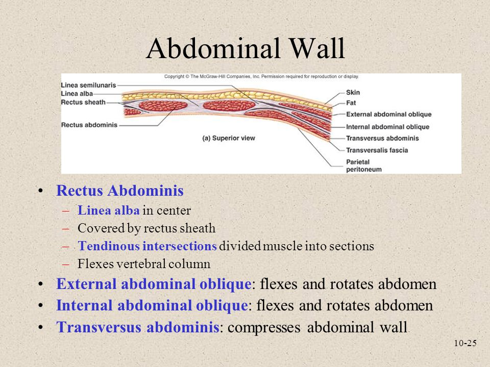 10-25 Abdominal Wall Rectus Abdominis –Linea alba in center –Covered by rectus sheath –Tendinous intersections divided muscle into sections –Flexes ve