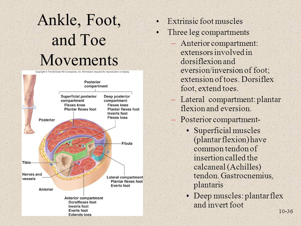 10-36 Ankle, Foot, and Toe Movements Extrinsic foot muscles Three leg compartments –Anterior compartment: extensors involved in dorsiflexion and evers