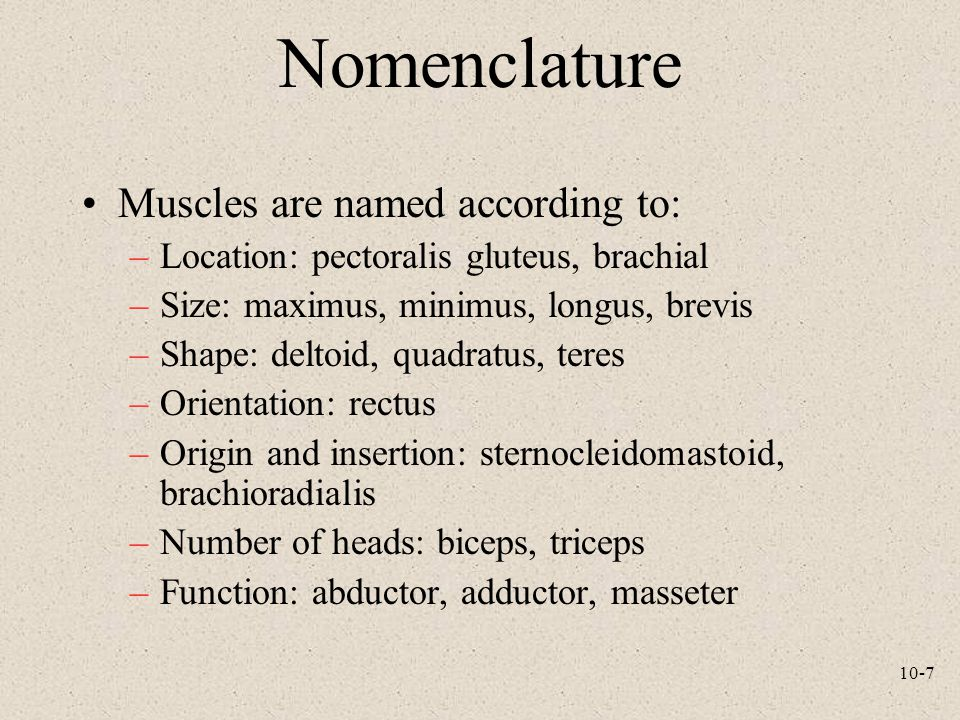 10-7 Nomenclature Muscles are named according to: –Location: pectoralis gluteus, brachial –Size: maximus, minimus, longus, brevis –Shape: deltoid, quadratus, teres –Orientation: rectus –Origin and insertion: sternocleidomastoid, brachioradialis –Number of heads: biceps, triceps –Function: abductor, adductor, masseter
