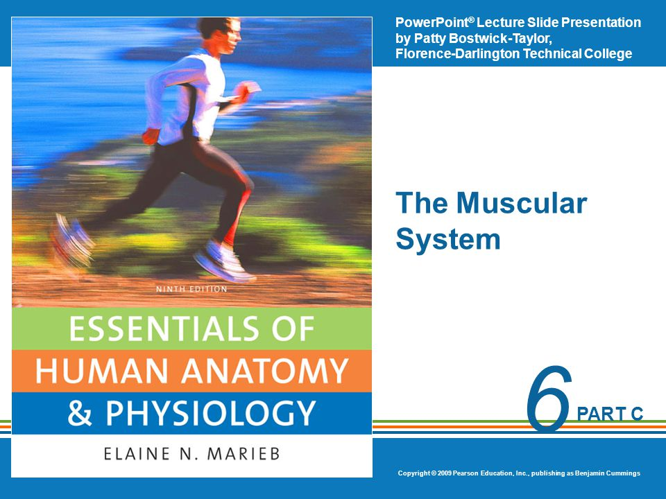 Copyright © 2009 Pearson Education, Inc., publishing as Benjamin Cummings Muscles of the Lower Limb  ______________—hip extension  ________________—adduct the thighs
