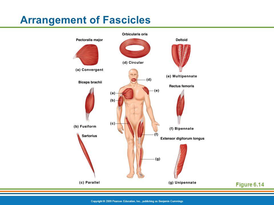 Copyright © 2009 Pearson Education, Inc., publishing as Benjamin Cummings Arrangement of Fascicles Figure 6.14