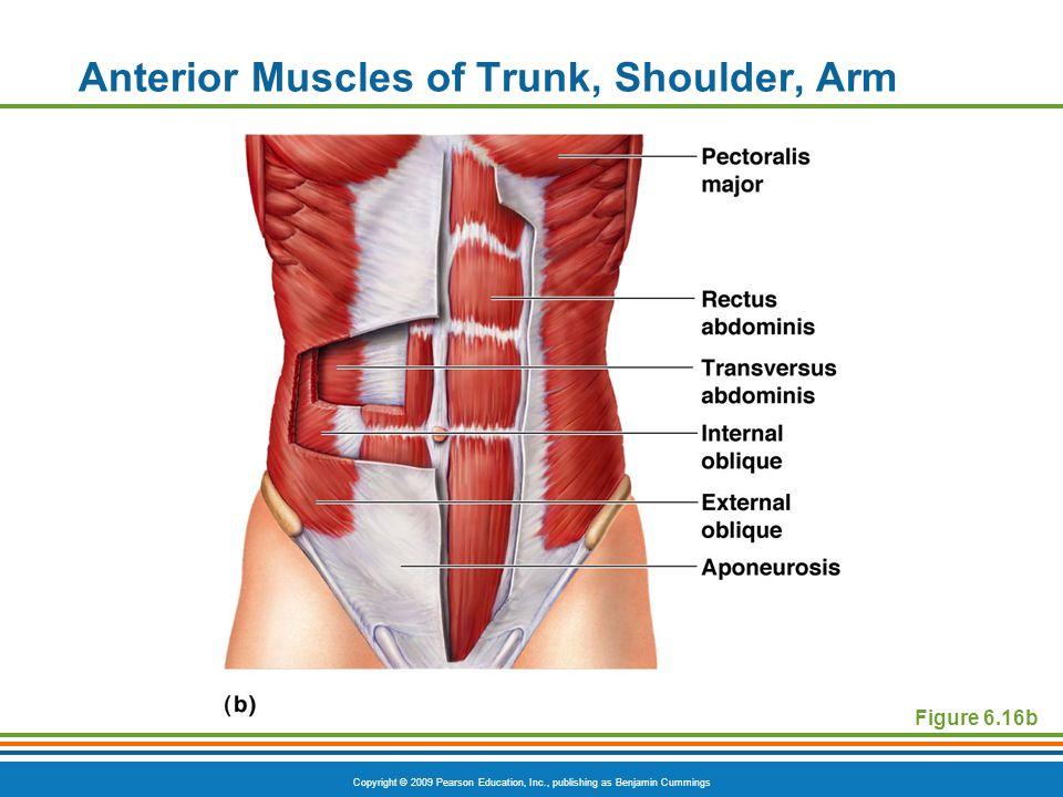 Copyright © 2009 Pearson Education, Inc., publishing as Benjamin Cummings Anterior Muscles of Trunk, Shoulder, Arm Figure 6.16b